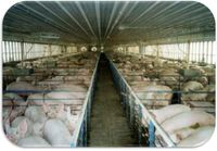 Pigfactoryfarm